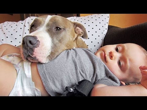 Cute Pitbull Dogs Loving And Playing With Babies Compilation 2016