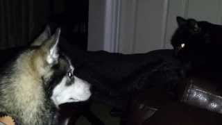 Juno The Siberian Husky & Yoshimi The Cat Fighting (as Usual) - Pt. 1