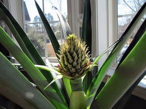 Bricolage giardinaggio come crescere una pianta di ananas - Pianta ananas ...