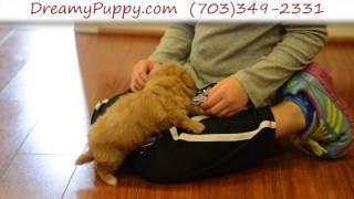 Dreamy Puppy - Toy Maltipoo Boy