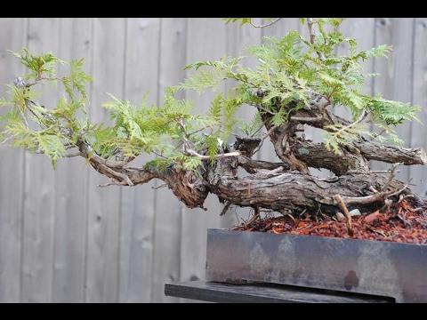 Thujaoccidentalis Arborvitae Or Red Cedar Youtube