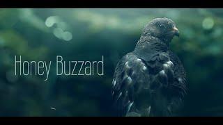 Honey Buzzard