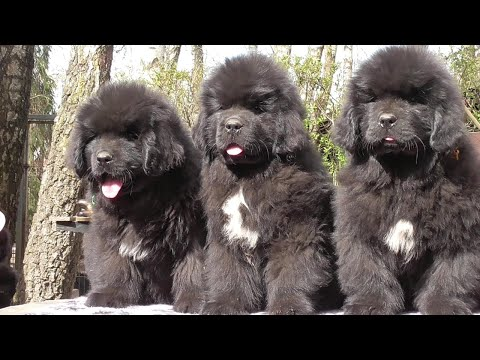 Funny and Cute Newfoundland Dog Puppies