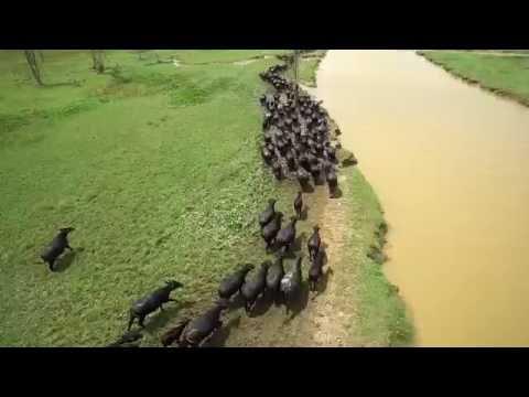 Búfalos do Rio Araguari no Estado do Amapá