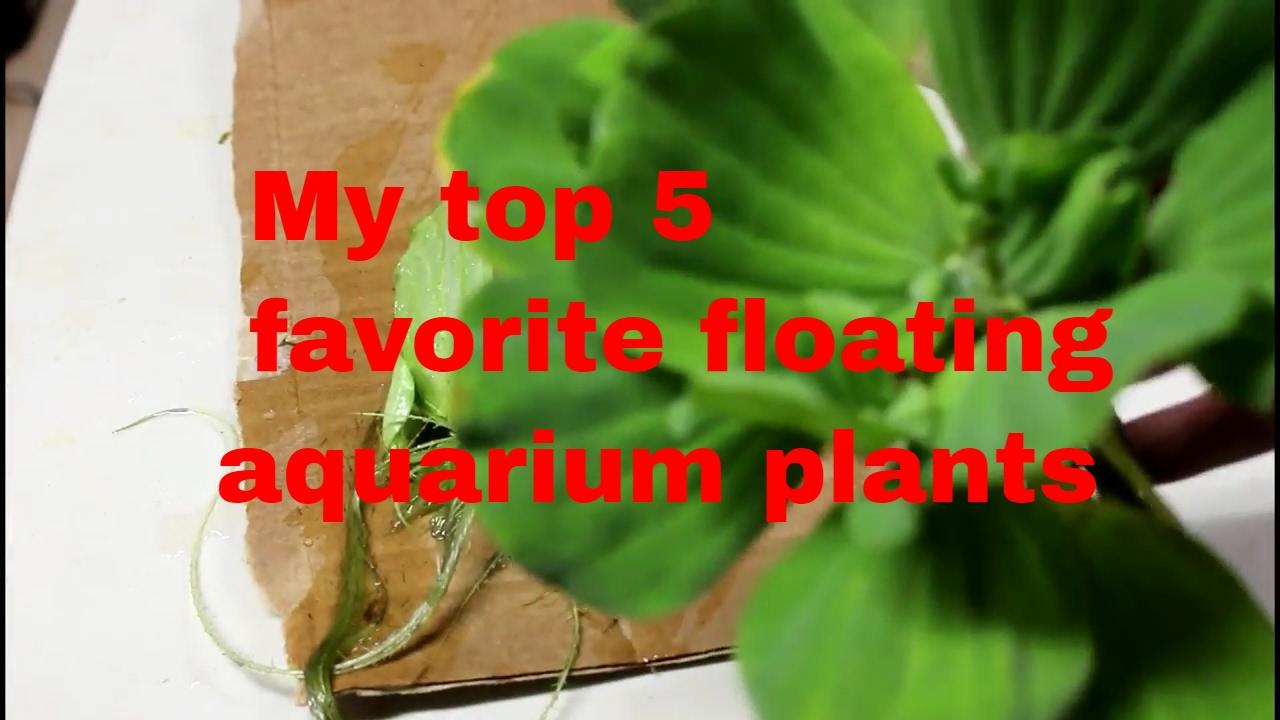 Benefits of Having Floating Aquarium Plants | TAG