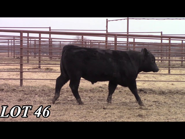 Mead Angus Farms Lot 46