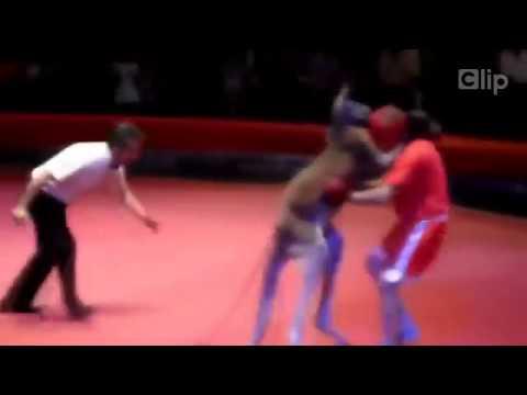 Kangaroo thượng đài nhiều phen đánh gục võ sĩ boxing trên sàn đấu