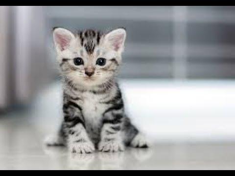 Cat - Ringtone