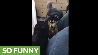Confused husky tries to chat with mirror reflection