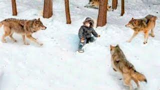 Стая Волков Окружила Мальчика, но то Что Сделал Один из Волков Удивило Всех