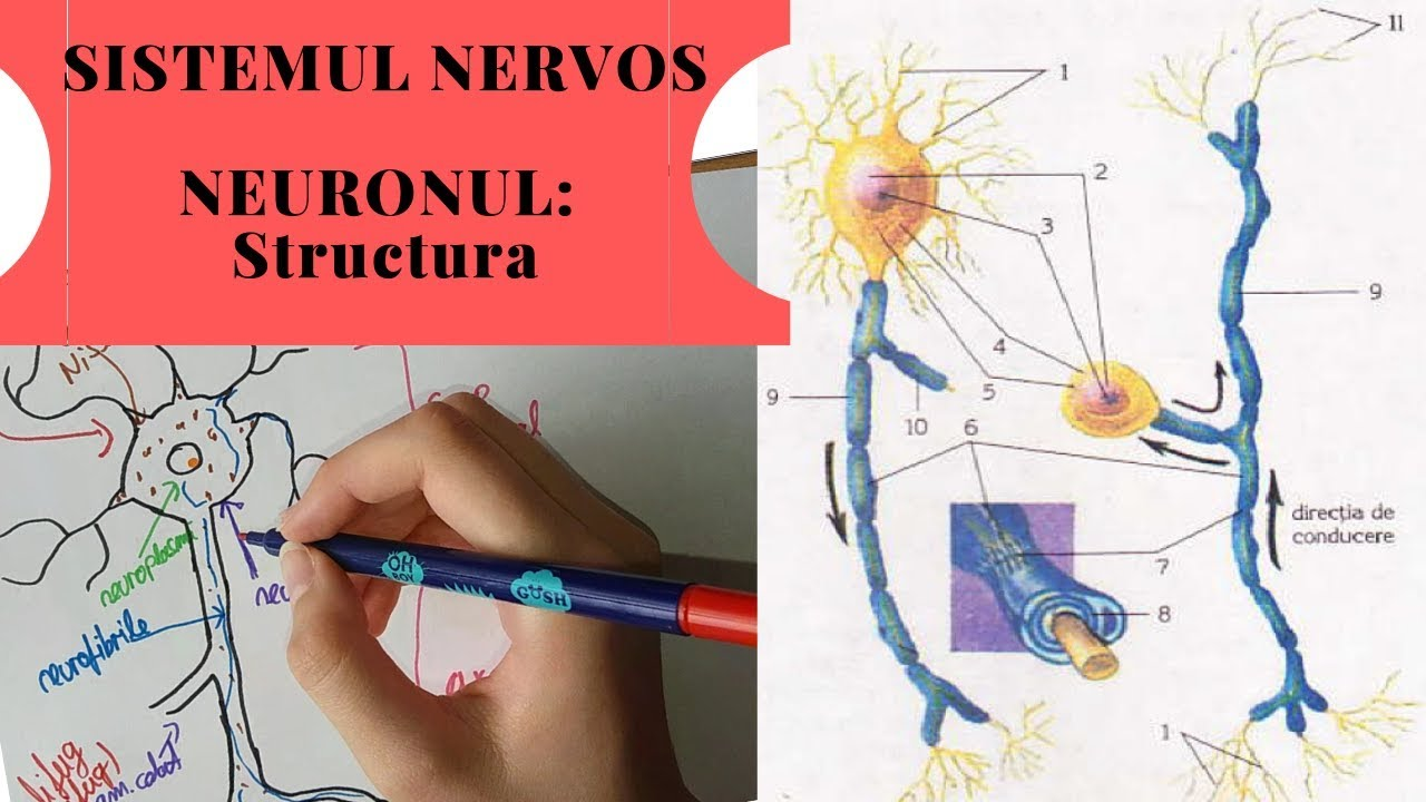 platyhelminthes sistemul nervos central