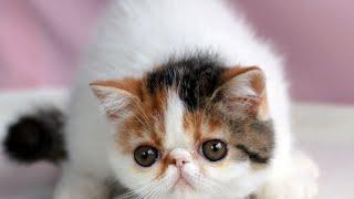 Kucing Termahal - Inilah Kucing Termahal Di Dunia