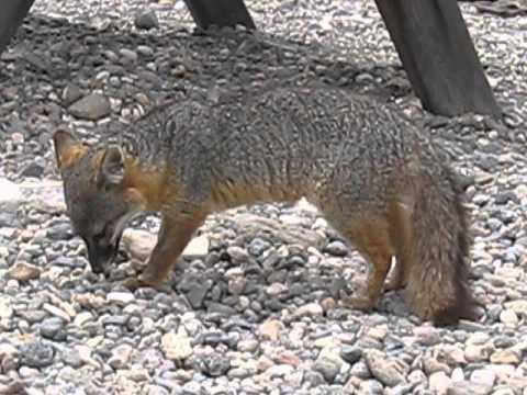 island fox diet