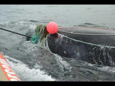 Earthcast SOS - Second Dead Entangled North Atlantic Right Whale