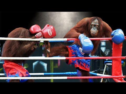 มวยโคตรฮา ลิงอุรังอุตังชกมวย คู่ชกเด็ดระดับเน็ตไอดอล (มีพากษ์)