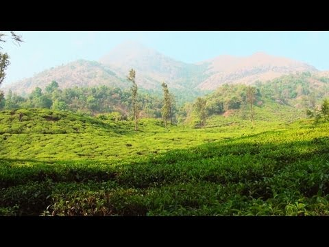 Tea Plantation in Wayanad