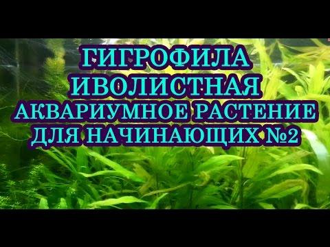 Гигрофила Иволистная. Аквариумное растение для начинающих №2 Освещение 0.3-0.5 вт на литр
