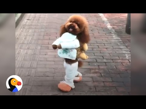 Thumbnail: Dog Walking on Two Legs IS NOT CUTE...Here's Why | The Dodo