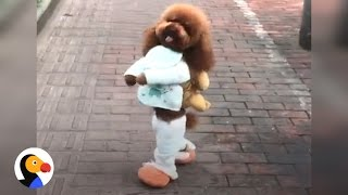 Скачать Dog Walking On Two Legs IS NOT CUTE Here S Why The Dodo