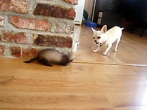 my new baby ferret playing with my dog!