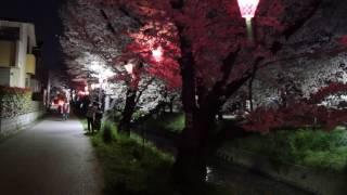 Cherry blossoms festival 4K 五条川 夜桜 岩倉市