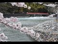 桜満開!宇治 塔の島公園