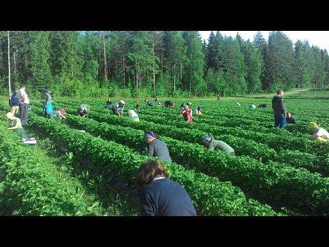 Массовый сбор клубники в России. Тысячи тонн своей плюс Азербайджанская и Армянская