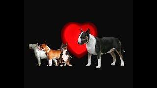 cruzar mini bull terrier tricolor con otros colores