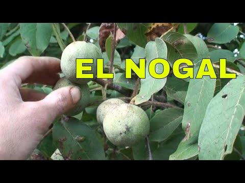 Nogal - Arboles Frutales - Árbol del nogal cargado de nueces. Walnut tree