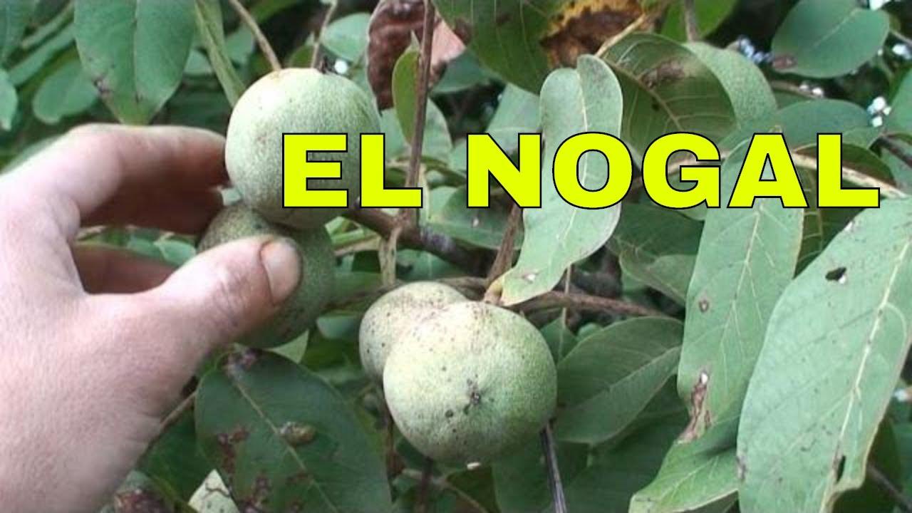 Nogal arboles frutales rbol del nogal cargado de for Arboles frutales de hoja caduca