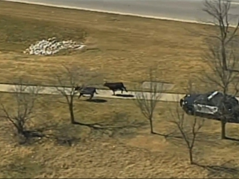 Cops pursue cattle after semi crashes