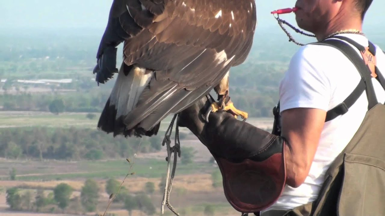 Download Golden Eagle Training, 5th Week Practicing