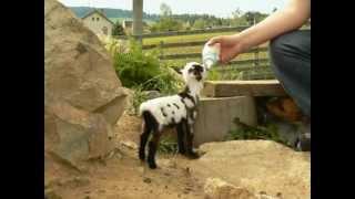 Holandská zakrslá koza 8.6.2012.MOV