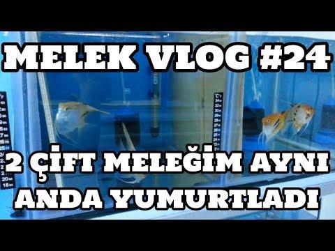 Melek Vlog #24 (2 Çift Meleğim Aynı Anda Yumurtladı)