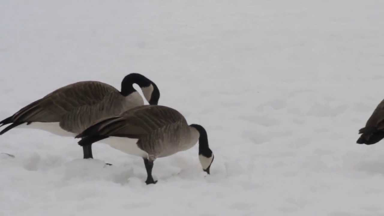 how to get rid of canadian geese in your yard