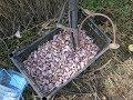 посадка озимого чеснока Любаша ручной сажалкой mp3