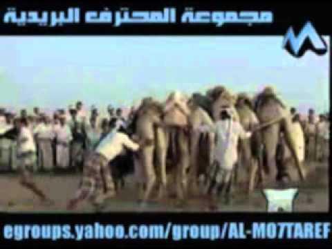 Yemen Traditional Sport - Camel Jump 4.wmv