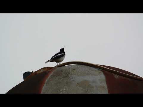 oriental magpie-robin (Copsychus saularis) /male/calling