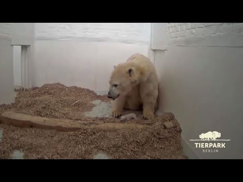 Berlin zoo shows off baby polar bear