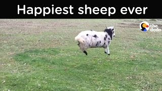 Happy Sheep Can't Stop Bouncing | The Dodo