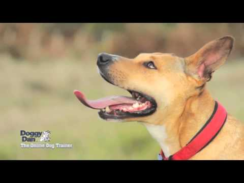 german-shepherd-:-how-to-stop-a-barking-dog-with-a-whisper