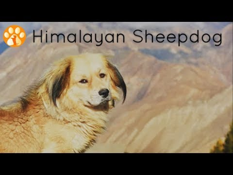 Himalayan Sheepdog or Indian Sheepdog - Type 2nd