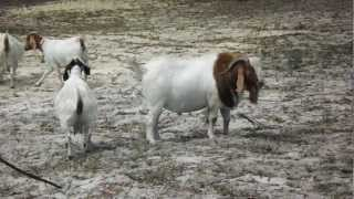 South African Boer Goats Twin Valley Goat Farm