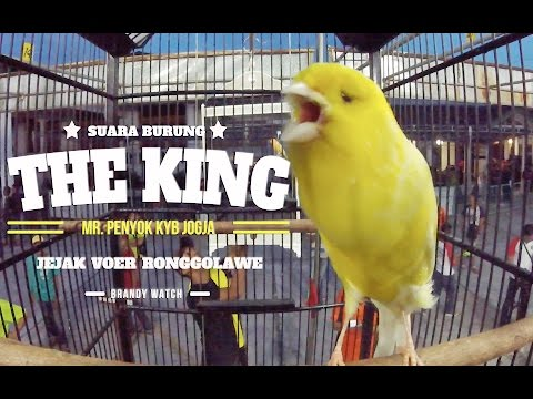 Download Lagu BRANDY WATCH : GOPRO - THE KING Kenari Gacor Rajin Kerja Siang Malam Buat Mr.Penyok KYB Jogja