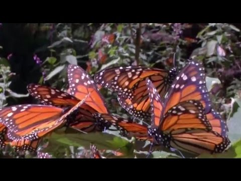Monarch butterflies could get endangered species status