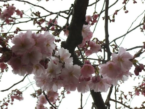 Cherry Blossom Day In Stocholm 16/4-2016! :)