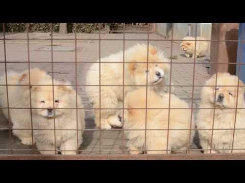 Chow-chow pups 3 months