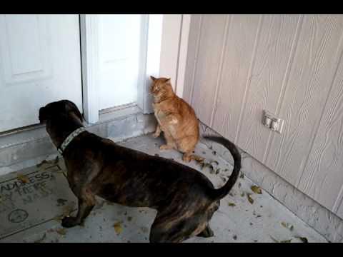 Vicious pitbull vs cat!!!!