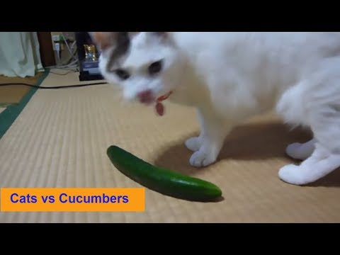 Cats Scared of Cucumbers   |  Cats vs Cucumbers | Funny Cats