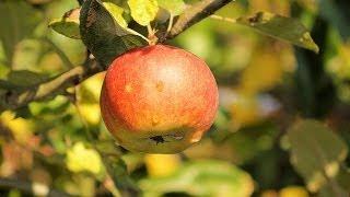 Fingerspiel für den Herbst - der Apfelbaum